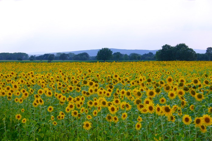 0414 Sunflowers