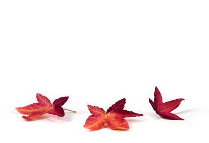 435 Red Maple Leaf leaves