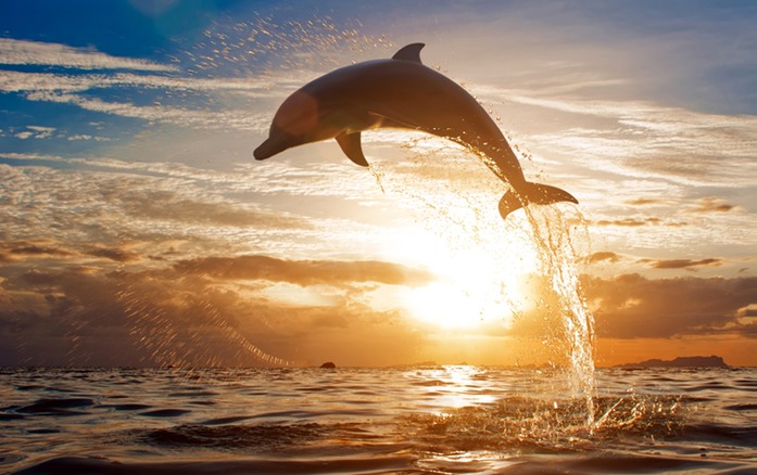 496 Dolphine jumping.jpg
