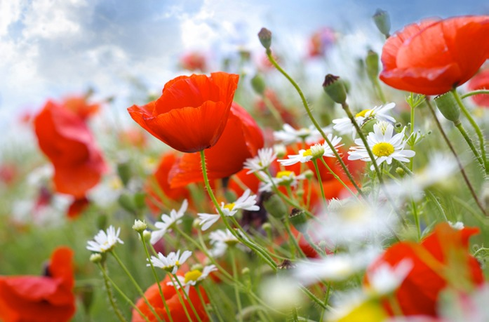 503 Poppies low res.jpg